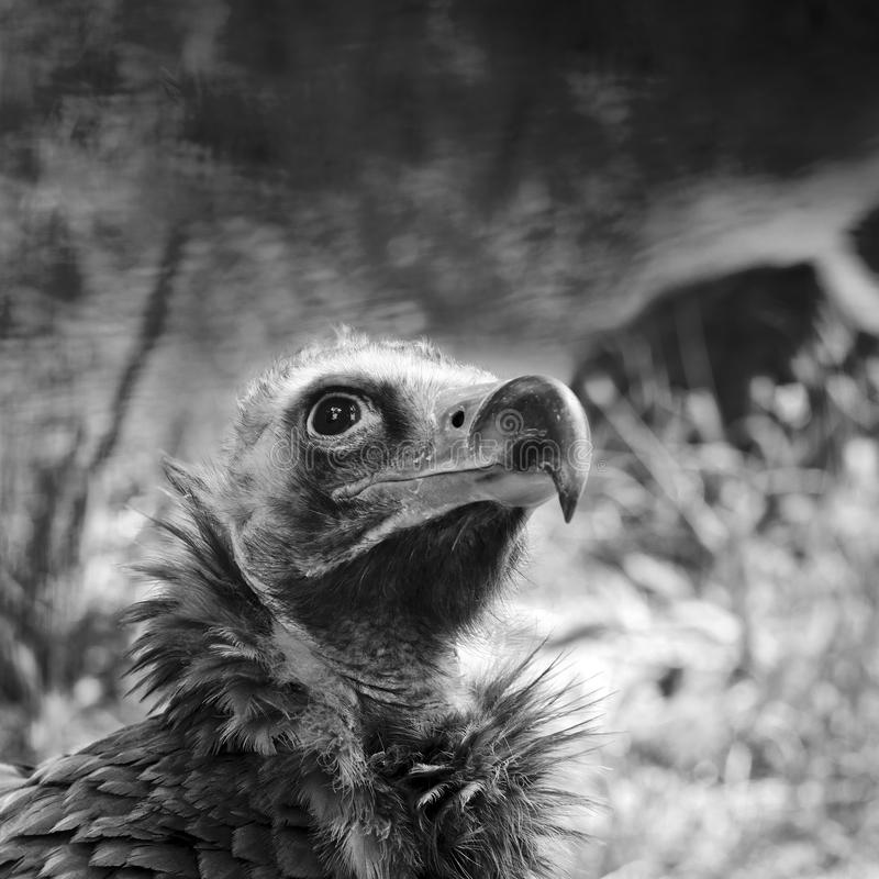 Cinereous Vulture. Portrait of The Cinereous Vulture (Aegypius monachus) also known as the Black Vulture, Monk Vulture, or Eurasian Black Vulture stock photo