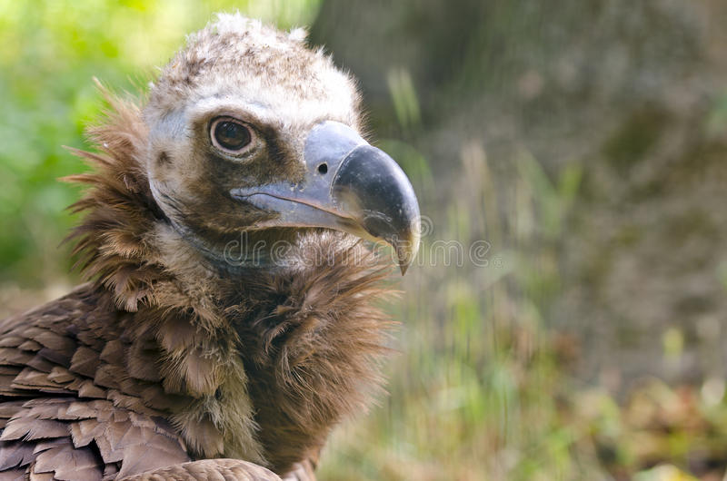 Cinereous Vulture. Portrait of The Cinereous Vulture (Aegypius monachus) also known as the Black Vulture, Monk Vulture, or Eurasian Black Vulture royalty free stock photography