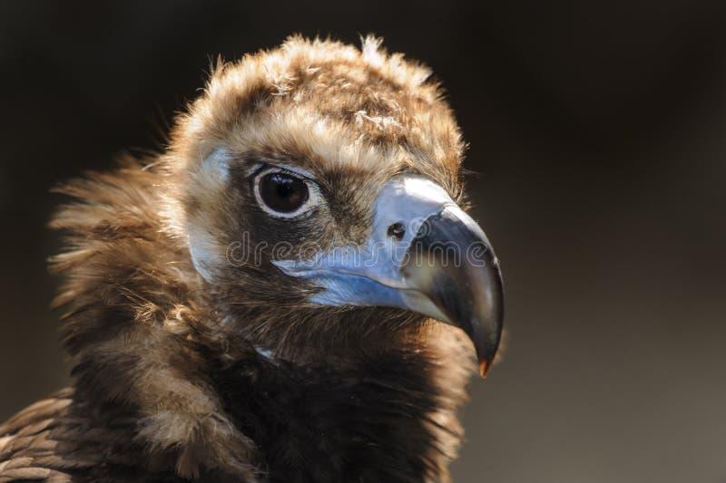 Cinereous vulture portrait. Cinereous vulture, black vulture or monk vulture portrait close up royalty free stock image