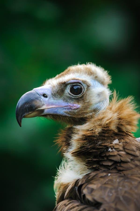 Cinereous vulture portrait. Cinereous vulture, black vulture or monk vulture portrait close up royalty free stock images