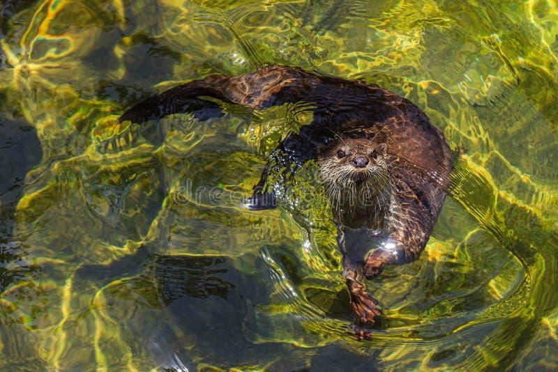 Cinereus agarrado pequeno do amblonyx da lontra que nada na água fresca fotografia de stock royalty free