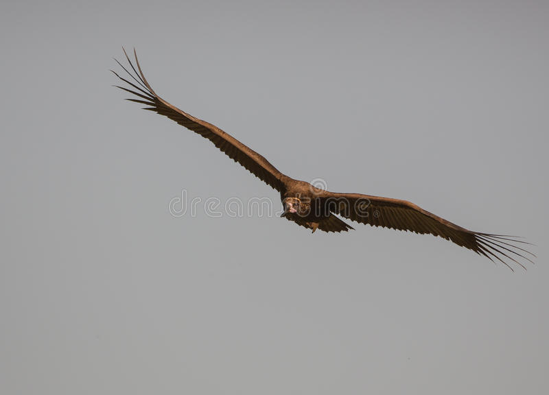 Cinerous Vulture Flying Open Wings. A large raptor known as a Cinerous Vulture flying overhead with wings spread wide open royalty free stock photo