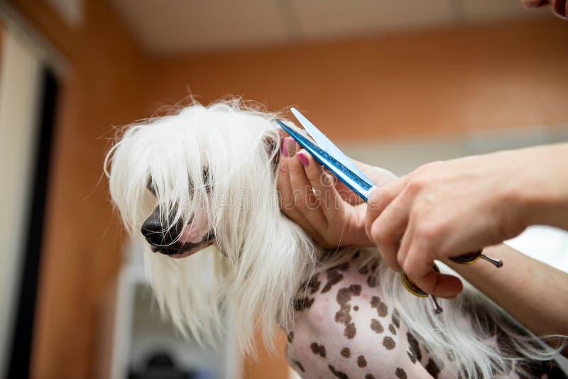 Cinese governare del cane della razza Crested fotografia stock libera da diritti