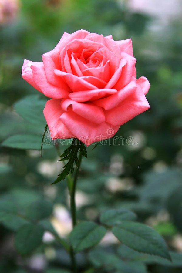 Cinglement Rose photos libres de droits