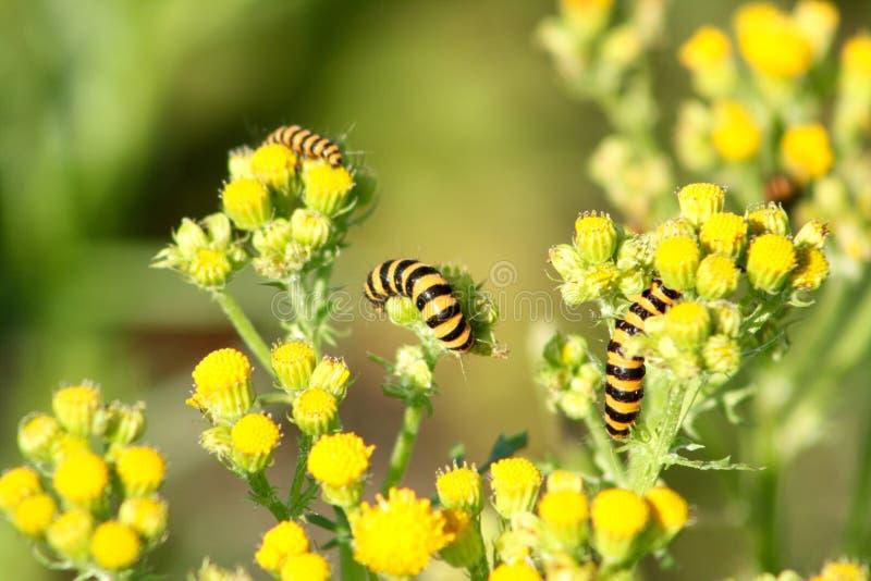 Cinnabarmal Caterpillar royaltyfri fotografi