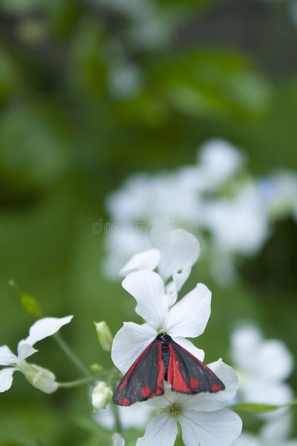 Cinnabarmal på den vita blomman royaltyfri foto