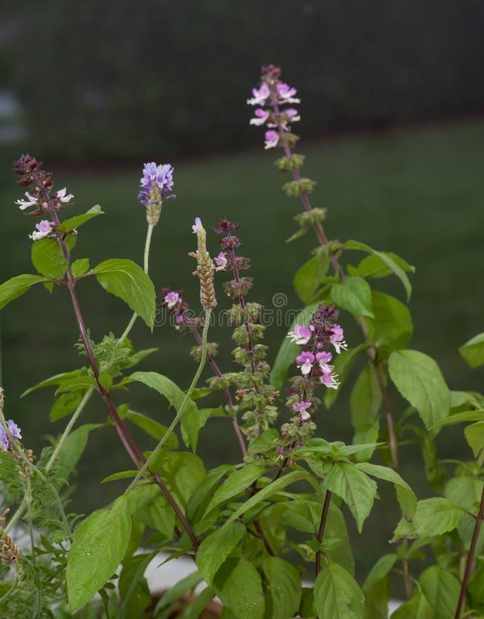Cinnamon Basil Plant royalty free stock photo