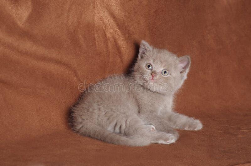 Cinnamon british shorthair kitten royalty free stock photography