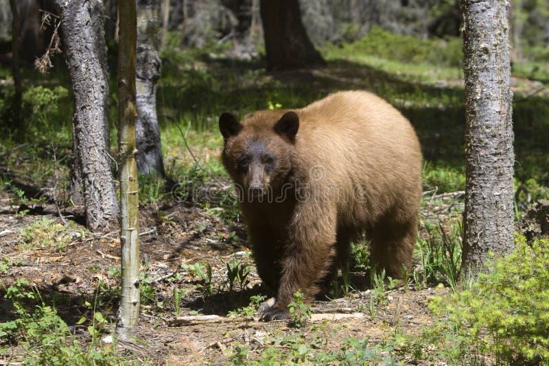 Download Cinnamon Colored American Black Bear Stock Image - Image: 10963405
