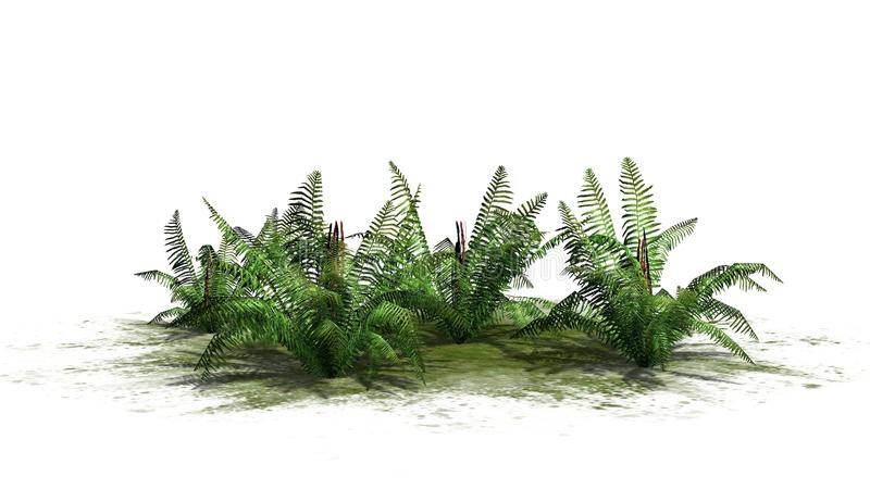 Cinnamon fern plants with shadow. Cinnamon fern plants on a green area with shadow - isolated on white background stock illustration