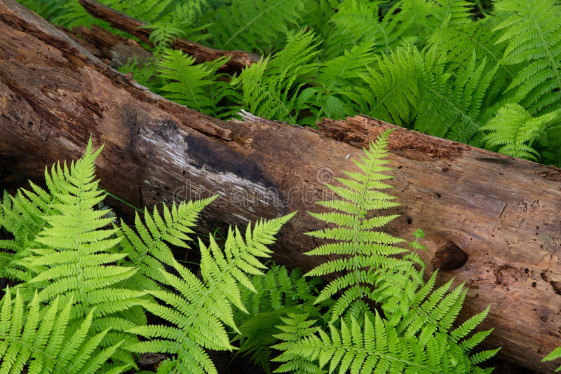 Download Cinnamon Ferns and Log stock image. Image of green, rotten - 54656817