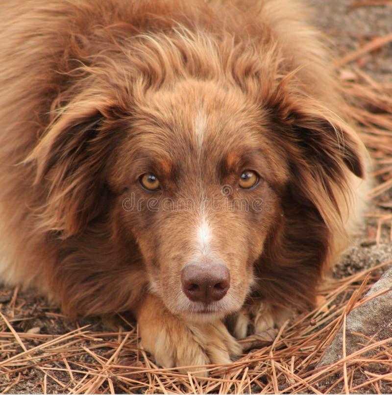 Cinnamon Shelter Dog stock photo