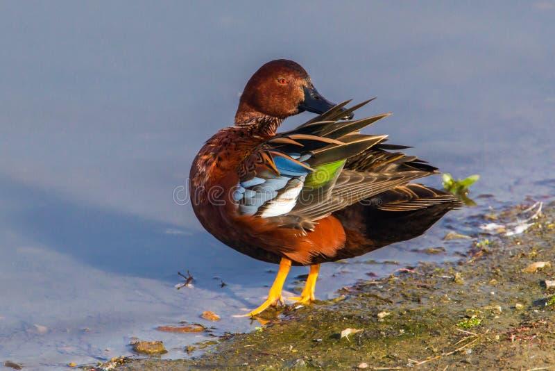 Cinnamon Teal. Adult Male Cinnamon Teal Duck Preening At Edge Of Pond stock images