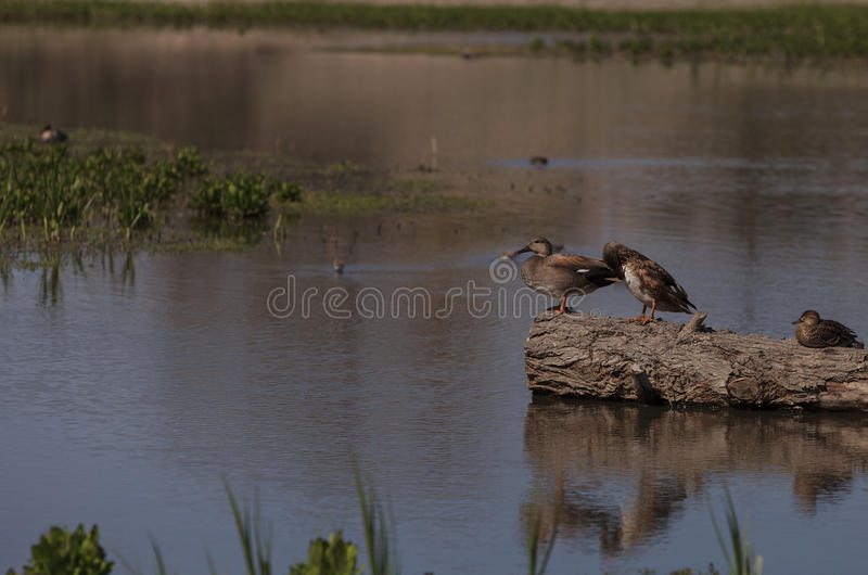 Cinnamon teal duck. Anas cyanoptera, at the San Joaquin wildlife reserve marsh in Irvine, California, United States stock photography