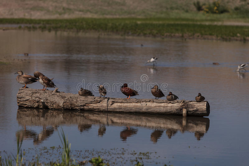 Cinnamon teal duck. Anas cyanoptera, at the San Joaquin wildlife reserve marsh in Irvine, California, United States royalty free stock image