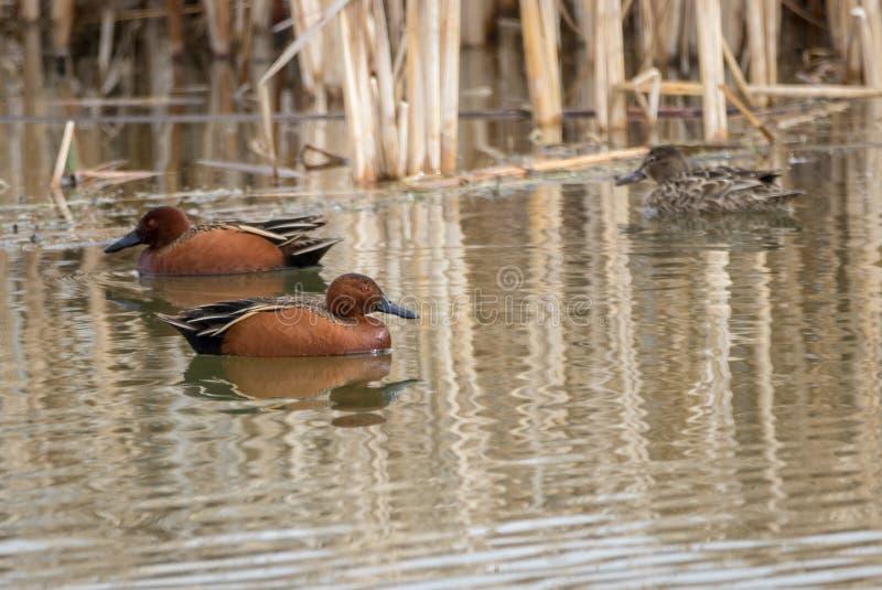 Cinnamon Teal. Swim in the waters of Market Lake near Roberts, Idaho stock photo
