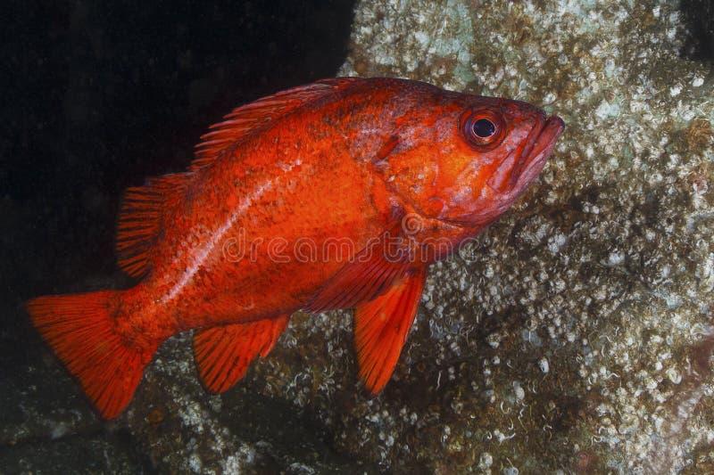 CinnoberfärgRockfish royaltyfria bilder