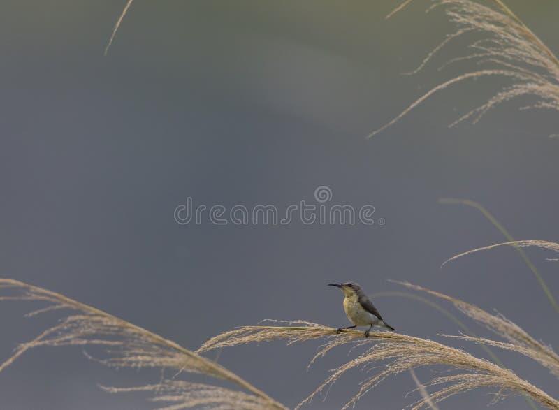 Cinnyris porpora di sunbird che asiaticusperching su un'erba dorata del fiume di colore Seduta femminile marrone verde oliva di s immagini stock libere da diritti