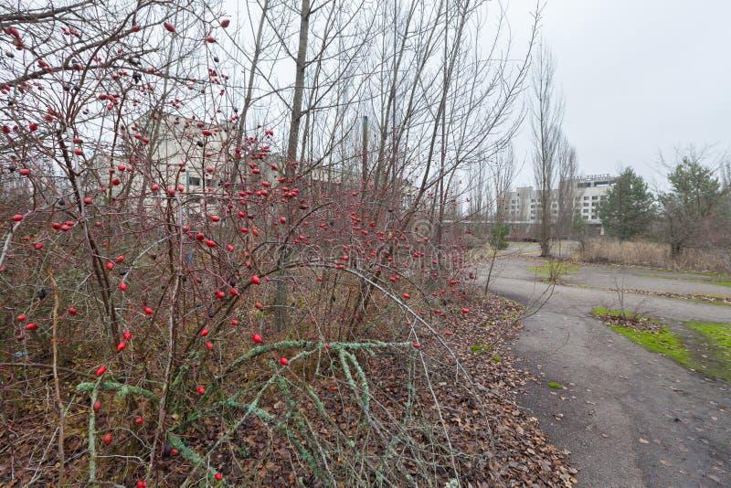 Cinorrodi nel quadrato centrale nella città invasa Pripyat del fantasma fotografia stock