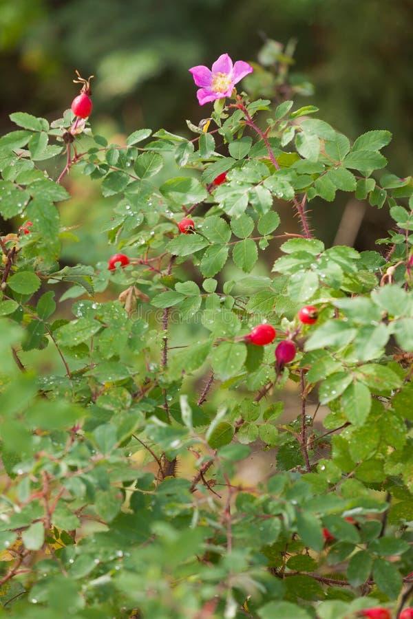 Cinorrodi selvaggi spinosi del fiore di acicularis di Rose Rosa immagine stock libera da diritti