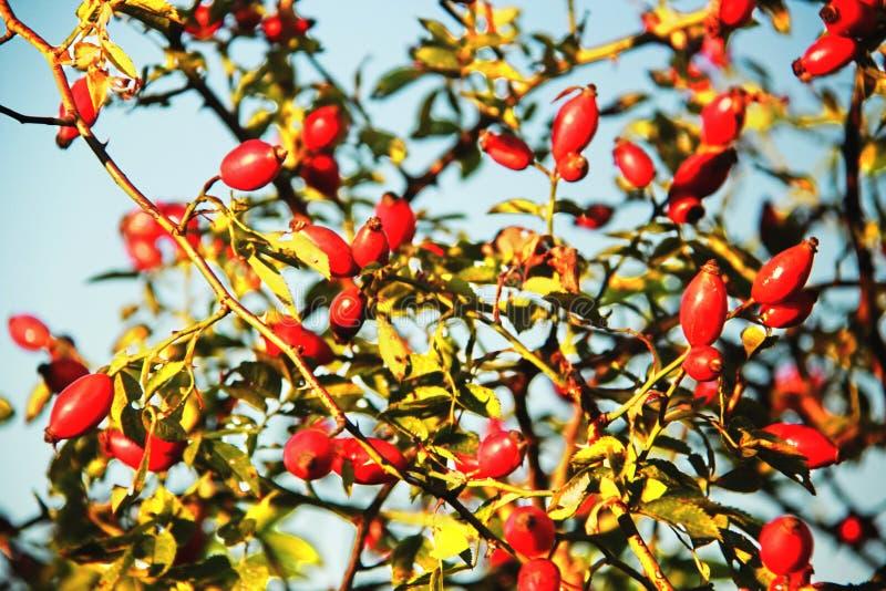 Cinorrodonte in autunno immagine stock