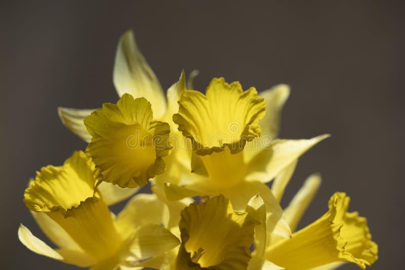 Cinq admirablement narcisses jaunes image stock