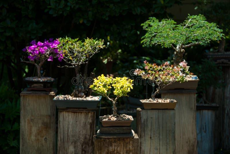 Cinq arbres de bonsaïs sur des piédestaux photos libres de droits