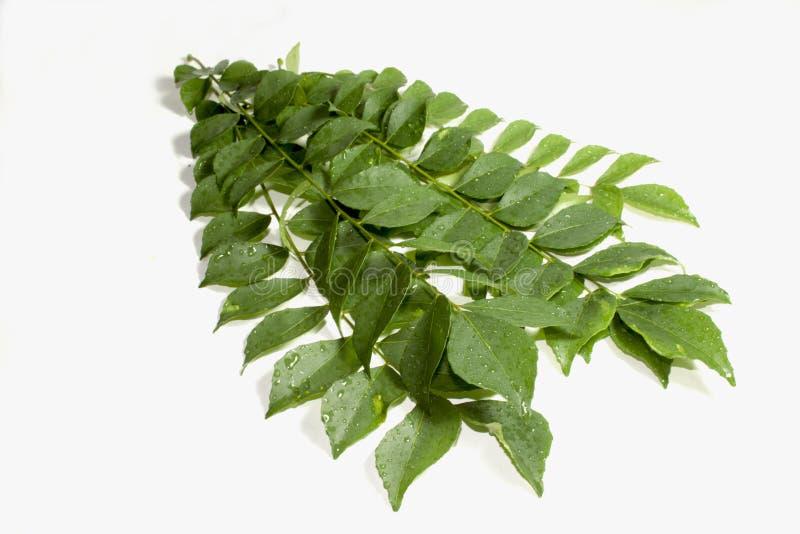 Cinq brins des feuilles de cari couvertes par pluie photographie stock