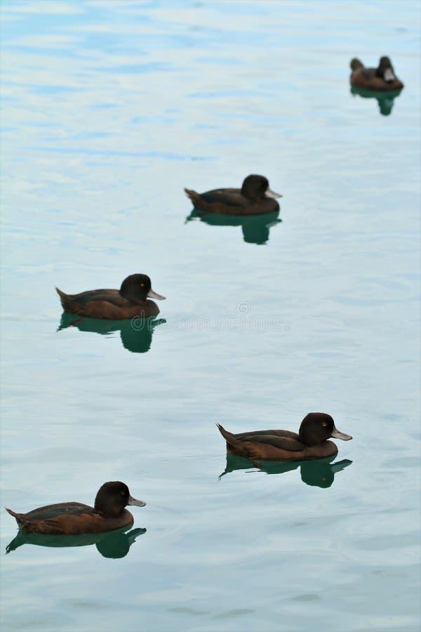 Cinq canards de fuligule milouinin se fanant dans la distance photos stock