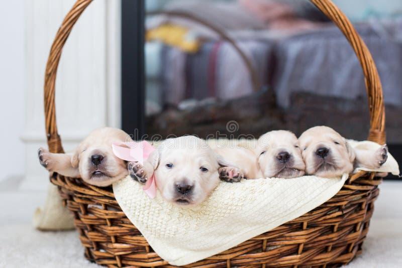 Cinq chiots adorables de golden retriever dans un panier en osier images libres de droits