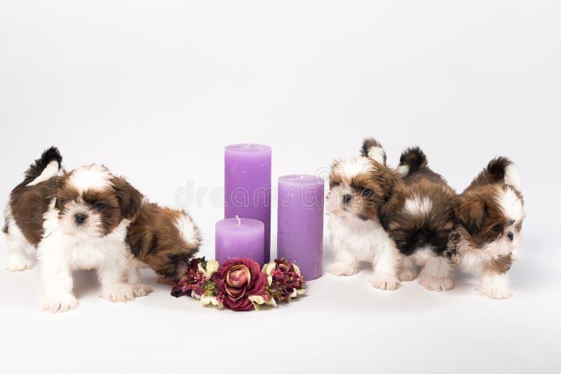 Cinq chiots mignons de shih-tzu avec des bougies de vacances photographie stock libre de droits
