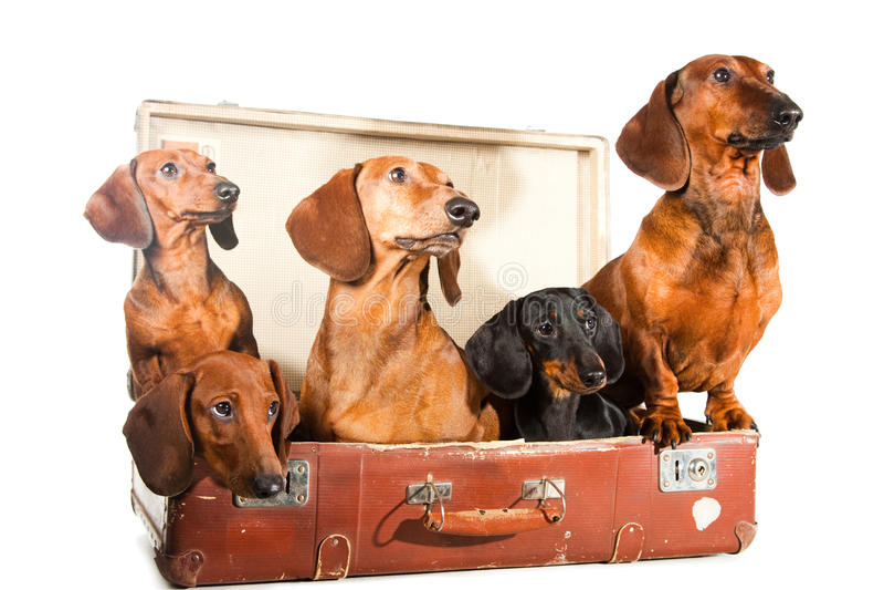 Cinq crabots de Dachshund dans la valise sur le blanc photographie stock libre de droits