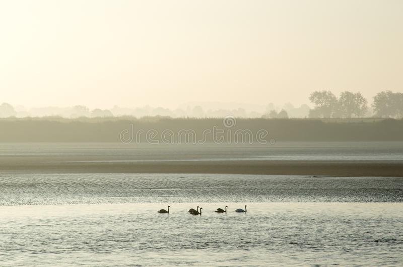 Cinq cygnes flottant en bas d'une rivière un matin brumeux d'automne photo libre de droits