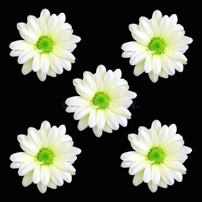 Cinq fleurs de marguerite image libre de droits