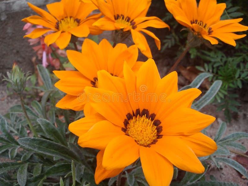 Cinq grandes fleurs oranges images libres de droits