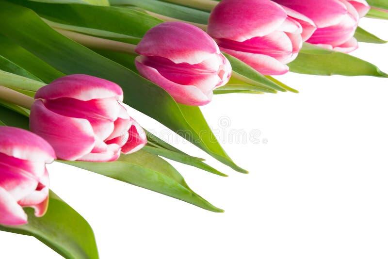 Cinq mensonges de tulipes sur un coin, sur un blanc image stock