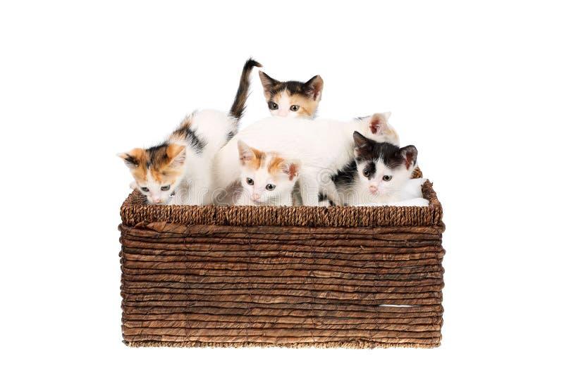 Cinq mignons, deux chatons de calicot de mois dans un panier en osier, d'isolement sur le blanc Enfants de mêmes parents curieux  images libres de droits