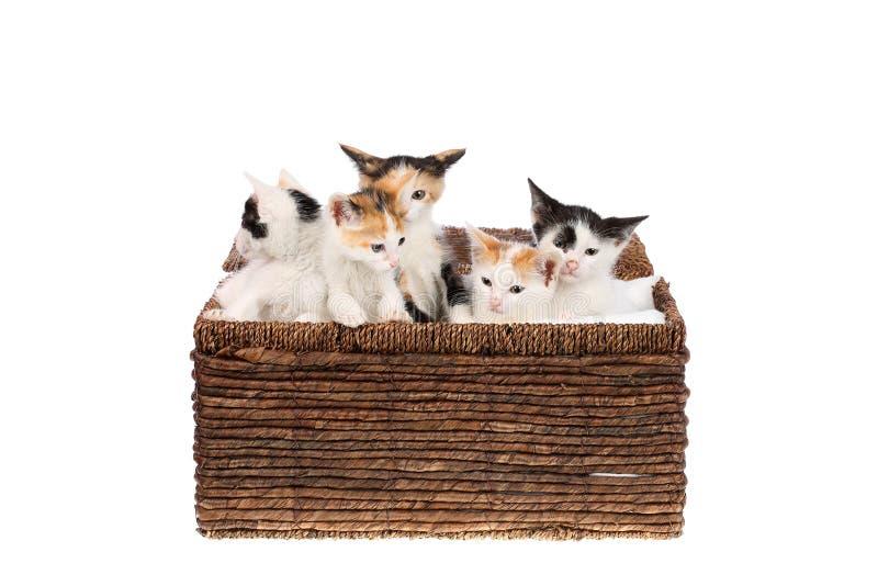 Cinq mignons, deux chatons de calicot de mois dans un panier en osier, d'isolement sur le blanc Enfants de mêmes parents effrayés images stock
