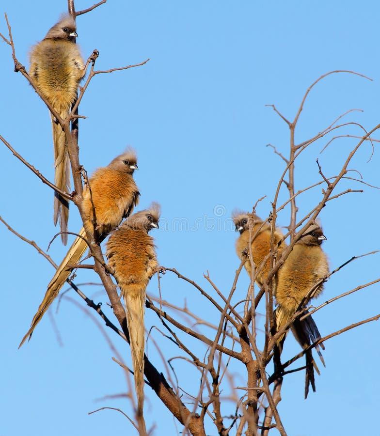 Cinq mousebirds dans un arbre images stock