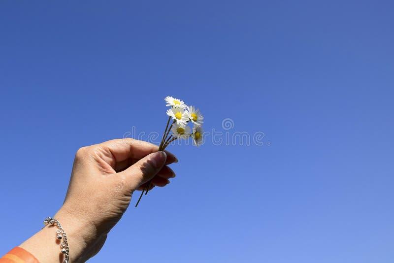 Cinq petites marguerites dedans ont soulevé la main de la femme Petit bouquet des marguerites contre le ciel bleu, jour d'été Pla image stock