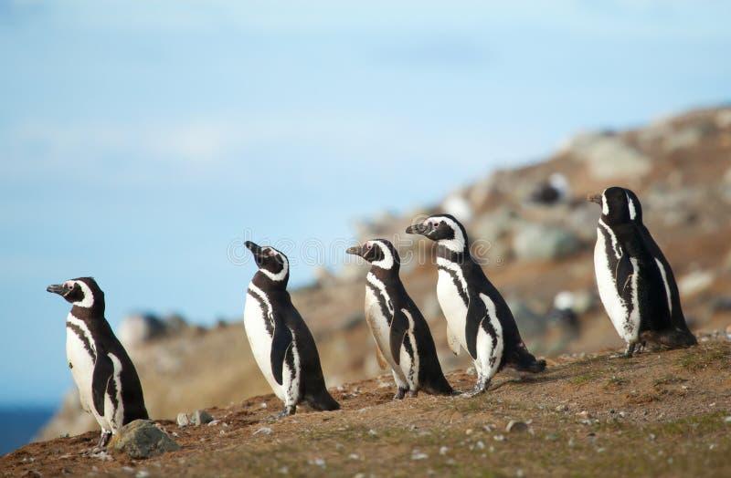 Cinq pingouins magellanic images stock