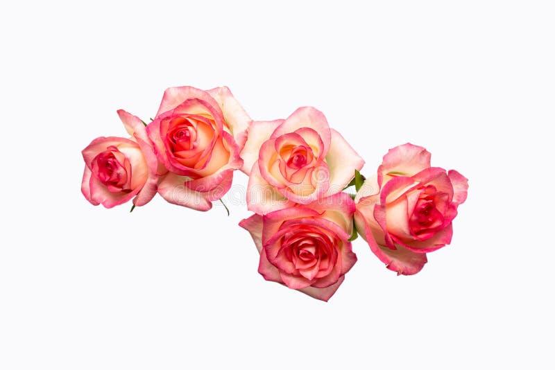 Cinq roses roses sur un fond blanc, belles roses fraîches image stock