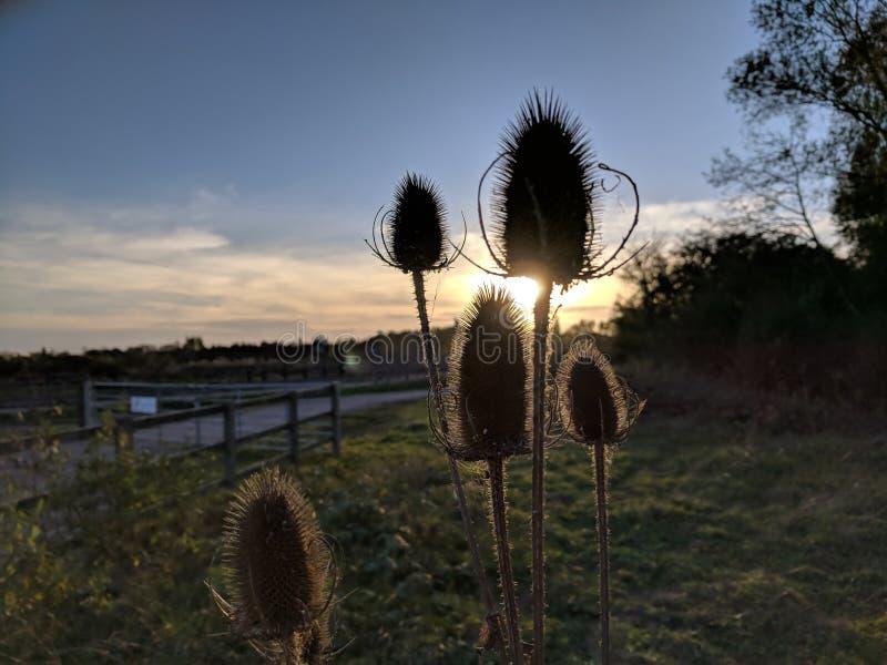 Cinq têtes de graine de cardère, fullonum de dipsacus, contre le coucher de soleil images libres de droits
