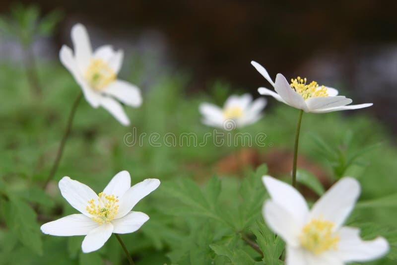 Cinque anemones bianchi fotografia stock