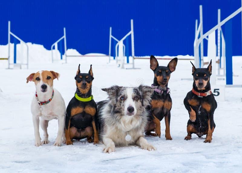 Cinque cani da caccia nei precedenti della pista di agilità fotografia stock
