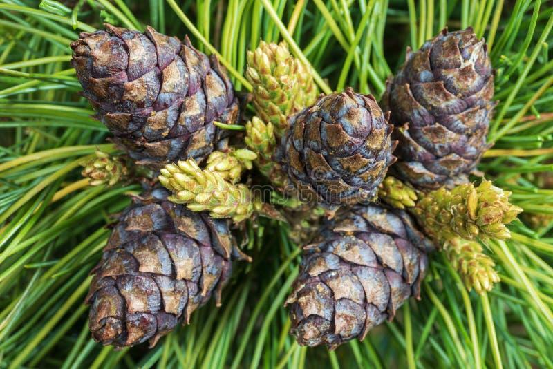 Cinque coni del pino mugo siberiano sempreverde Fondo floreale naturale del primo piano immagine stock libera da diritti