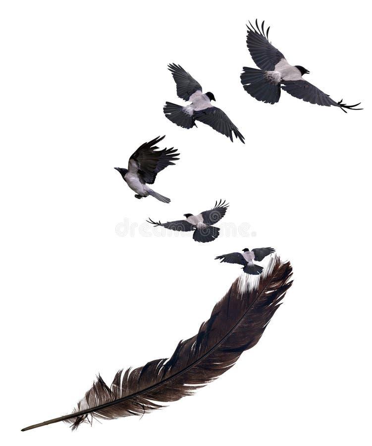 Cinque corvi che volano dalla grande piuma nera su bianco fotografia stock libera da diritti