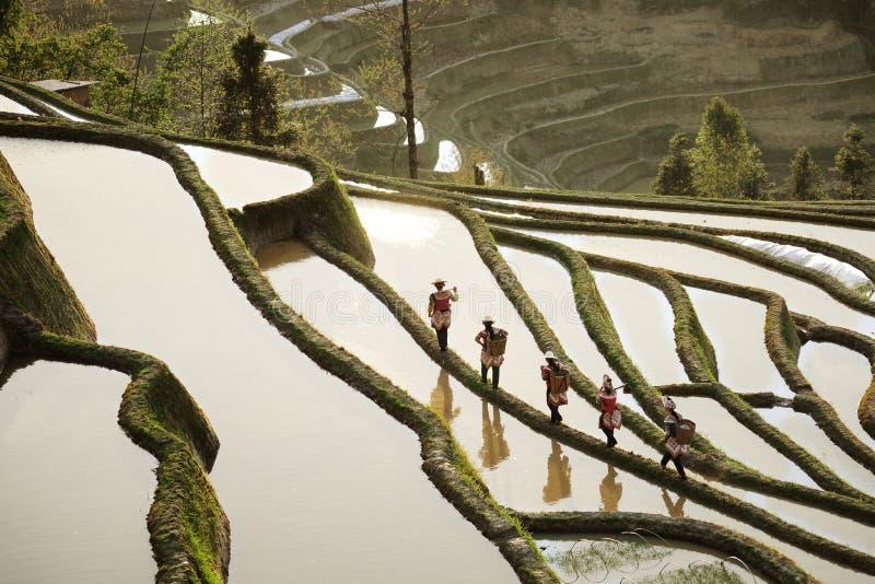 Cinque donne che lavorano su su nelle montagne che camminano su un verde hanno colorato il giacimento del riso di montagna fotografie stock