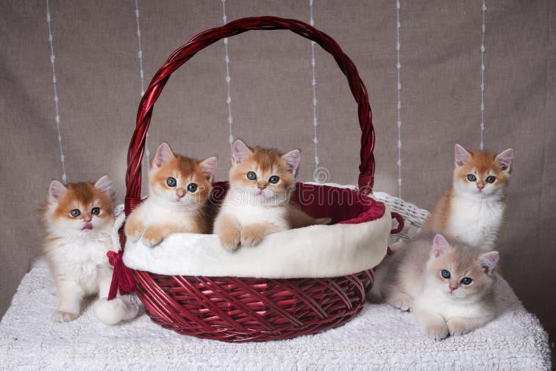 Cinque gattini della razza Shorthair britannico si siedono nel canestro di Natale e seguente immagine stock