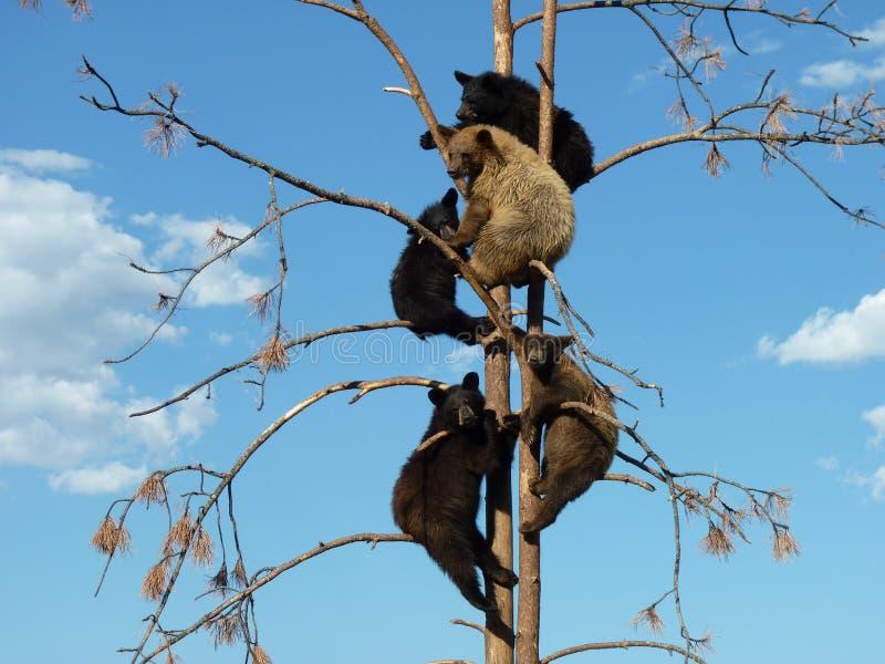 Cinque giovani orsi in un albero immagine stock